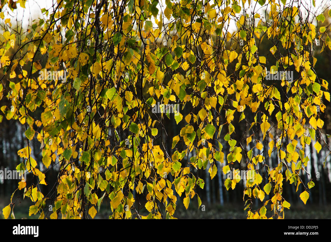 Golden birch leaves - Stock Image