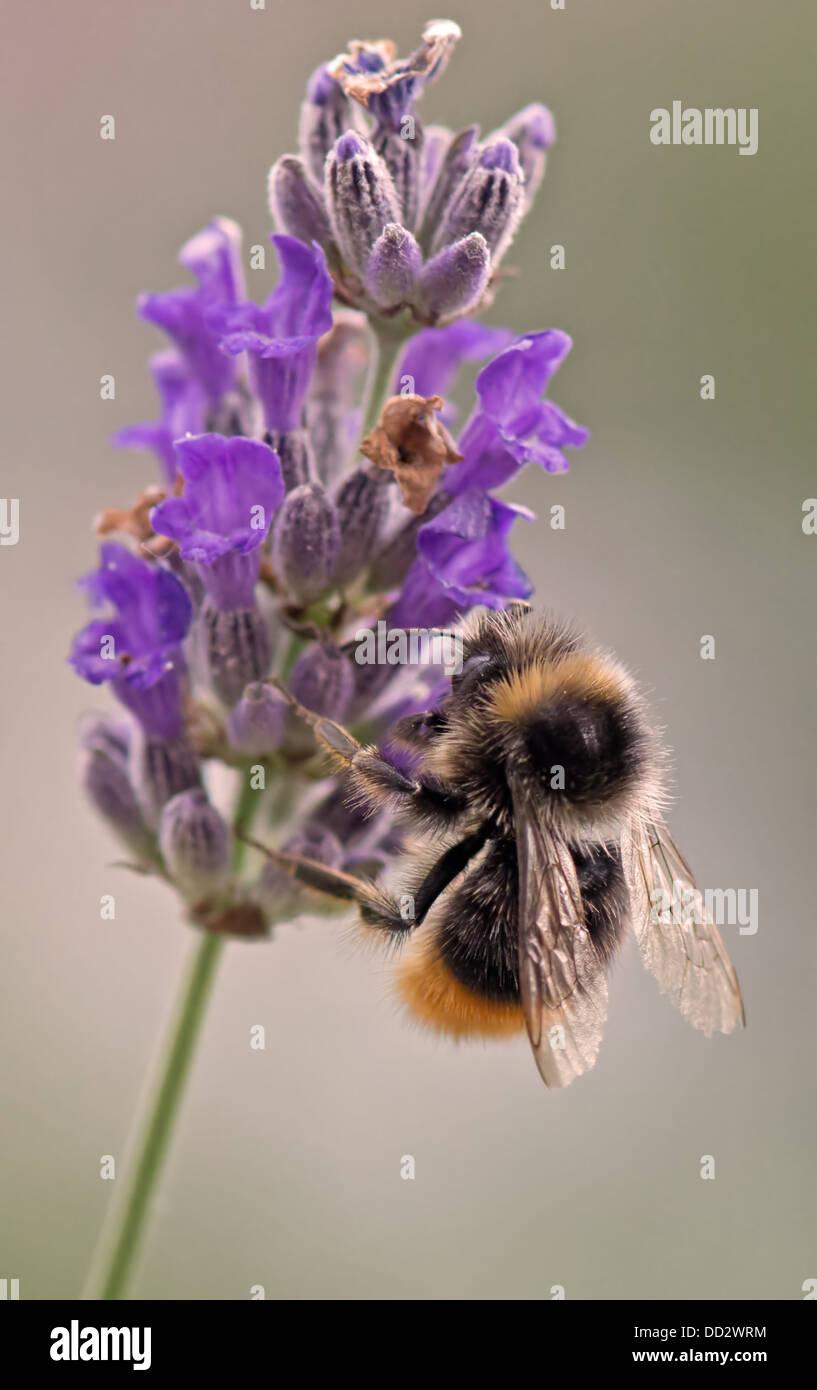 Buff- Tailed Bumble Bee-Bombus terrestris feeding on English Lavender-Lavandula. Summer. Uk Stock Photo