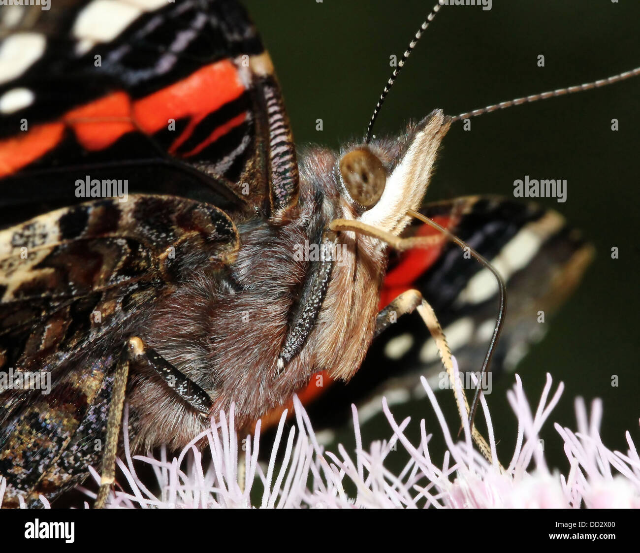 Extreme close-up of the head and upper body of  a Red admiral butterfly (vanessa atalanta) foraging on a hemp agrimony - Stock Image