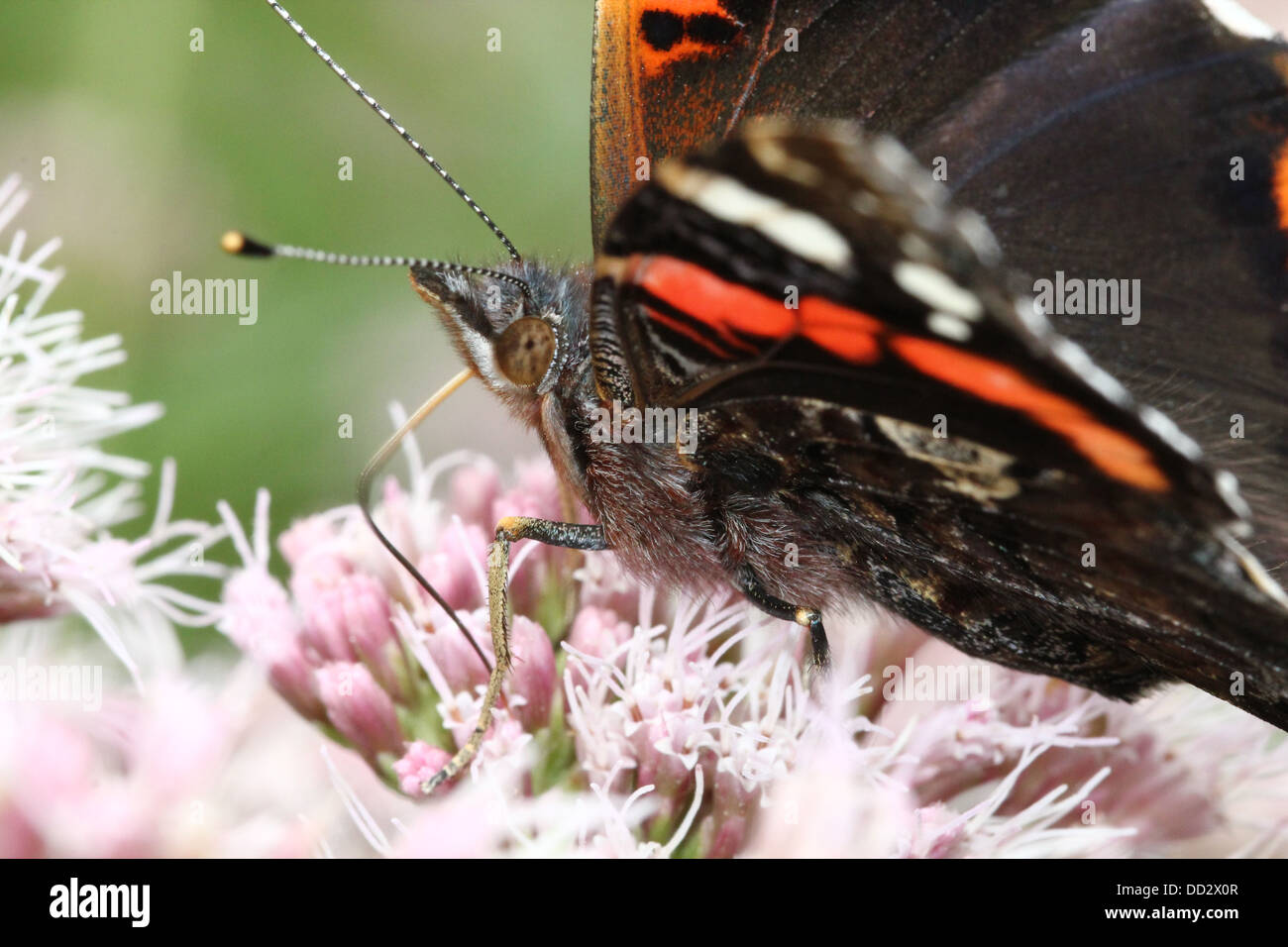 Extreme close-up of the head and upper body of  a Red admiral butterfly (vanessa atalanta) foraging on a flower - Stock Image