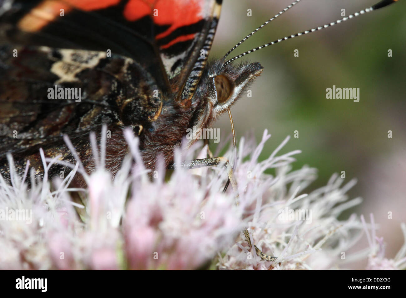 Extreme close-up of the head and  body of  a Red admiral butterfly (vanessa atalanta) foraging on a flower - Stock Image