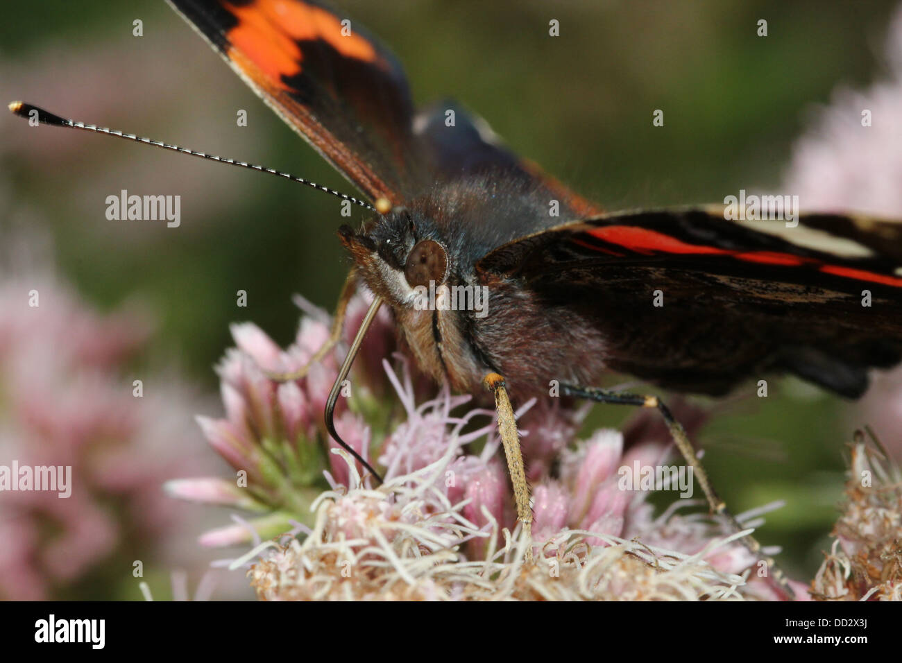Red admiral butterfly (vanessa atalanta) foraging on a flower - Stock Image
