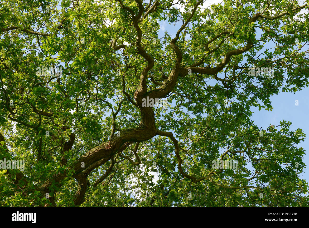 Branch of an oak tree in full leaf with blue sky Cheshire UK - Stock Image