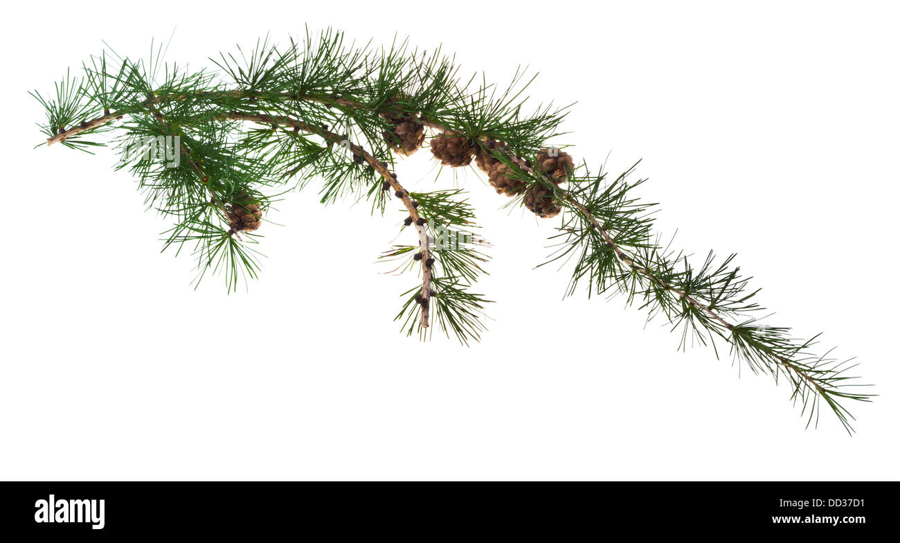 pine cones on branch of conifer tree isolated on white background - Stock Image