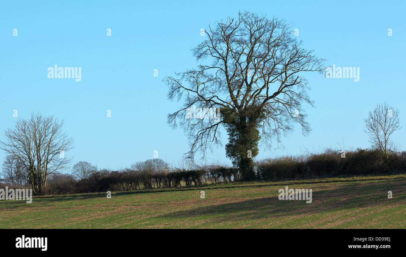Lone leafless beech tree in a farm hedge under a blue Spring sky - Stock Image