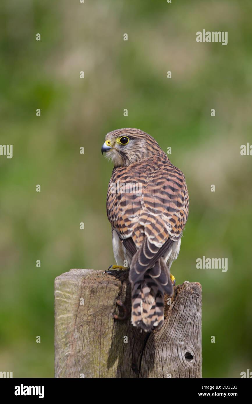 Kestrel; Falco tinnunculus; Female; UK - Stock Image