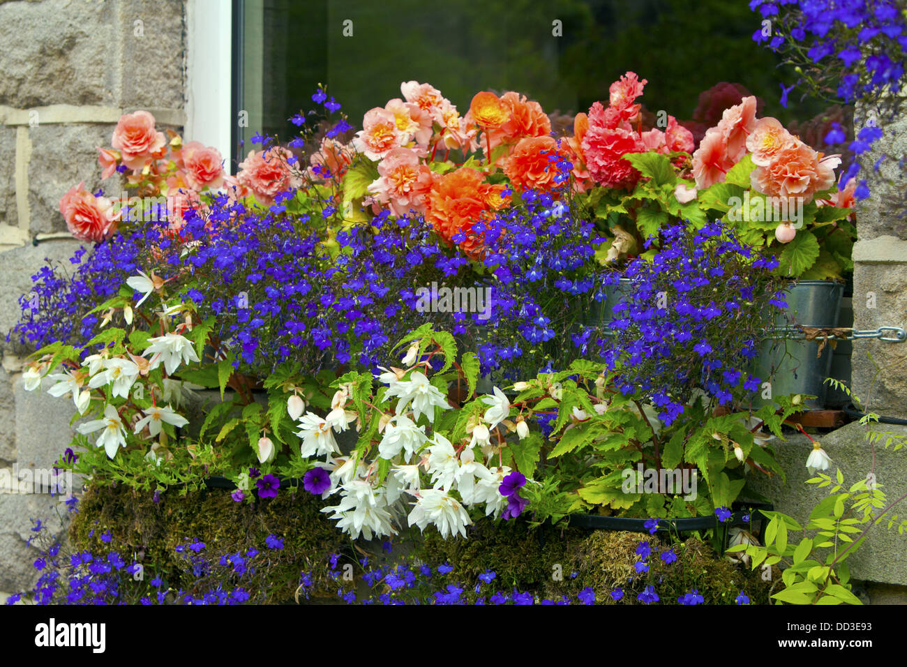 Pink, blue and white trailing flowers in a window box of an old English stone house. - Stock Image