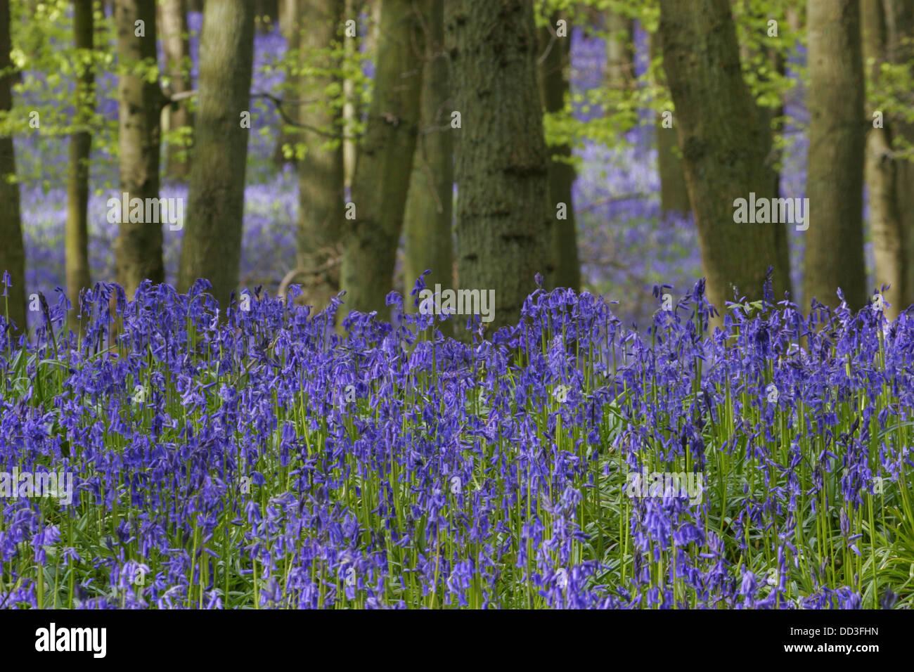 Bluebells, Endymion non-scripta, in Beech woodland in Spring. Taken May. Ashridge, Hertfordshire, UK. - Stock Image