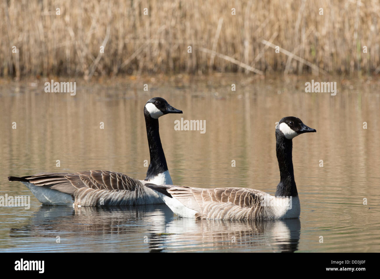 A pair of Canada Geese swimming on a lake - Stock Image