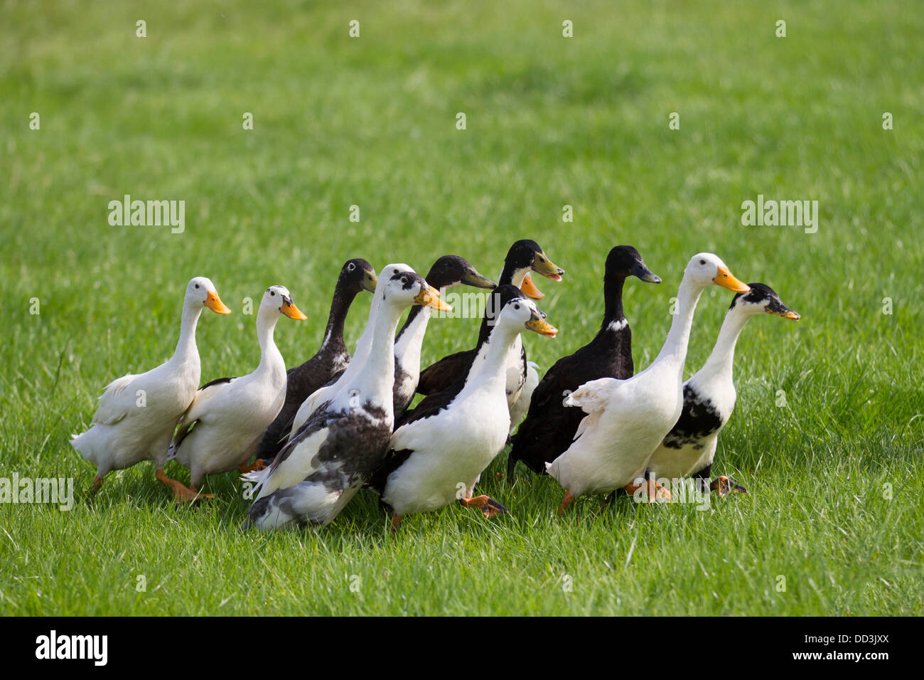 Cheshire Game & Country Fair, UK,  Aug 24 to Aug 26, 2013. Indian domestic geese, waterfowl-ducks, runners waddling - Stock Image