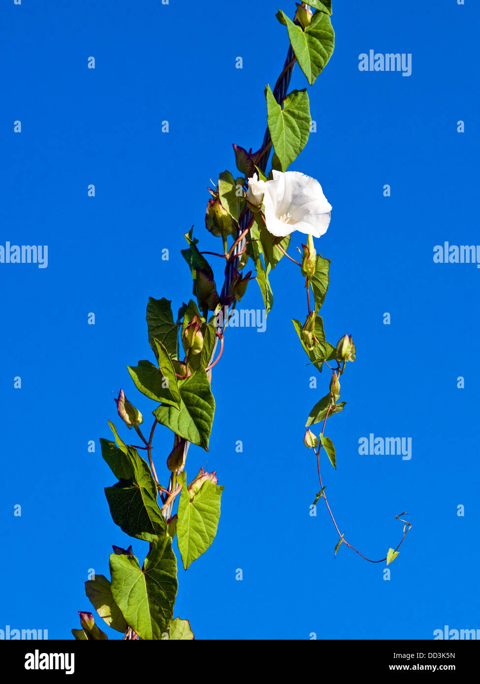 Field Bindweed / Convolvolus arvensis weed climbing steel cable - France. - Stock Image