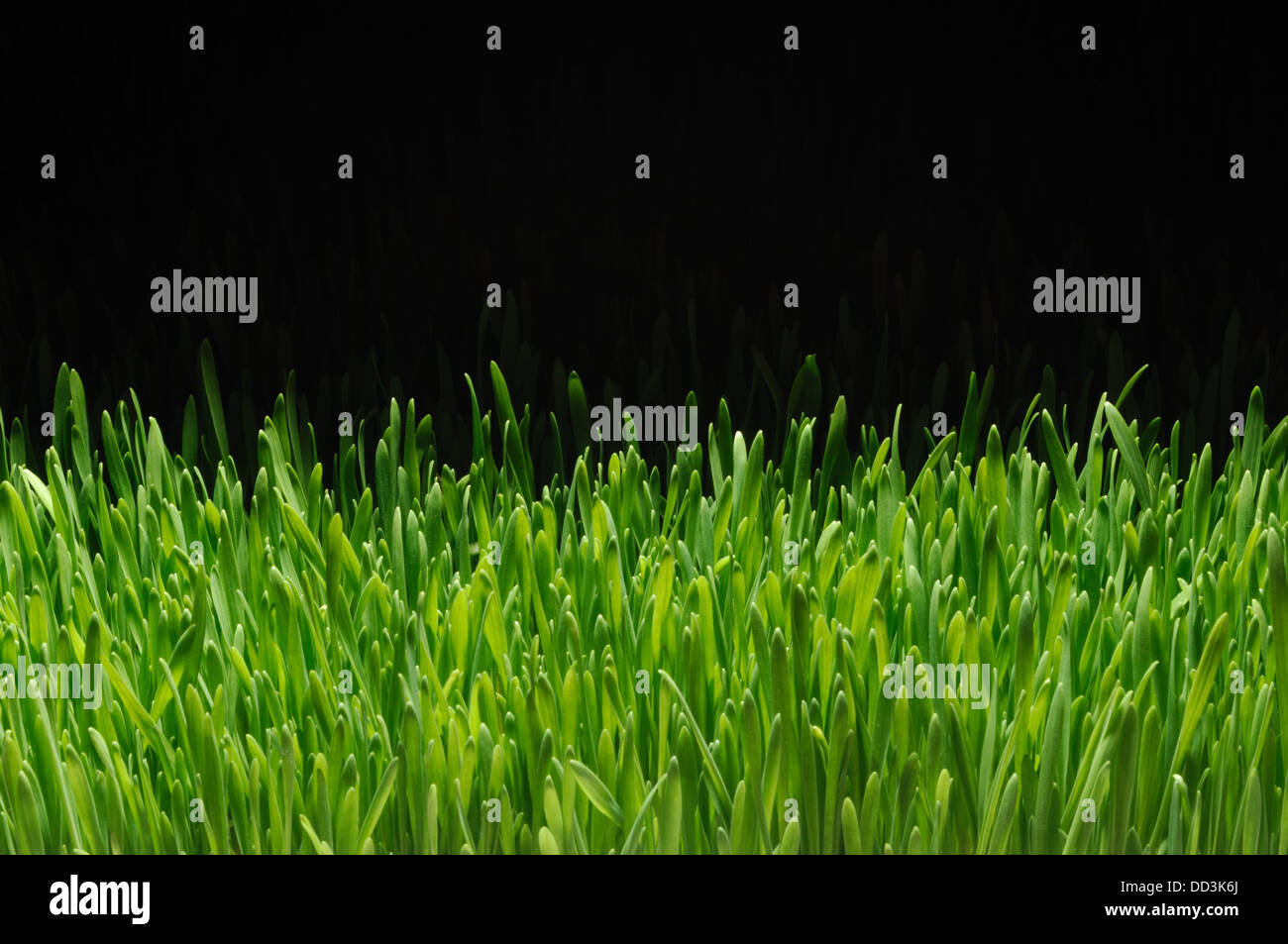 A section of growing green grass on a black background - Stock Image