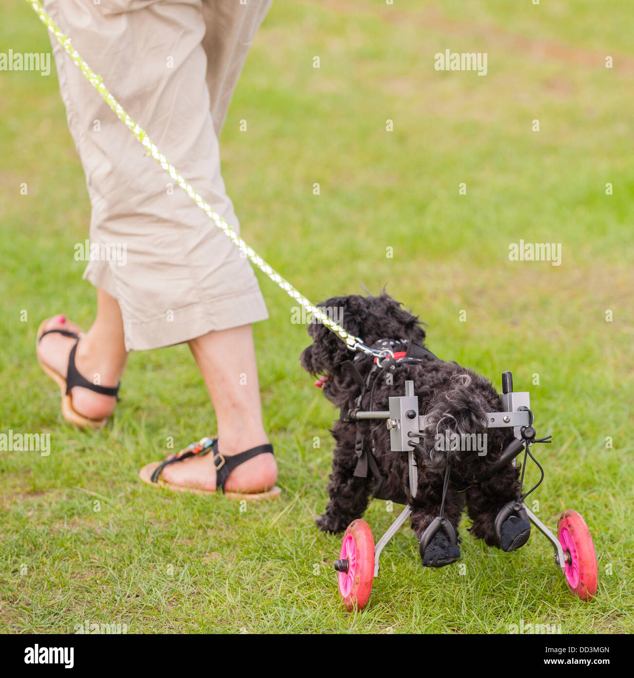 August 25th,2013,fantastic weather brings out this happy dog who has lost the use of his back legs and has a specially - Stock Image