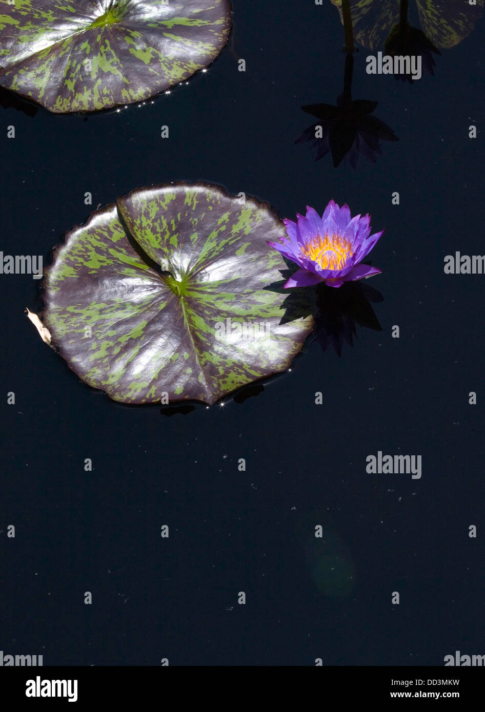 Vertical Cover Water Lily Stock Photos Vertical Cover Water Lily