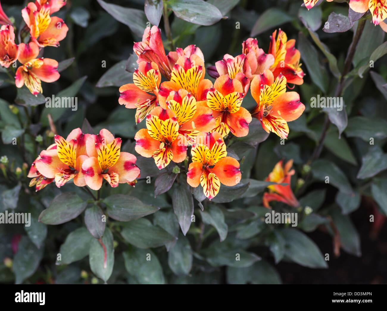 Orange And Yellow Alstroemeria Flowers Alstroemeriaceae Native To