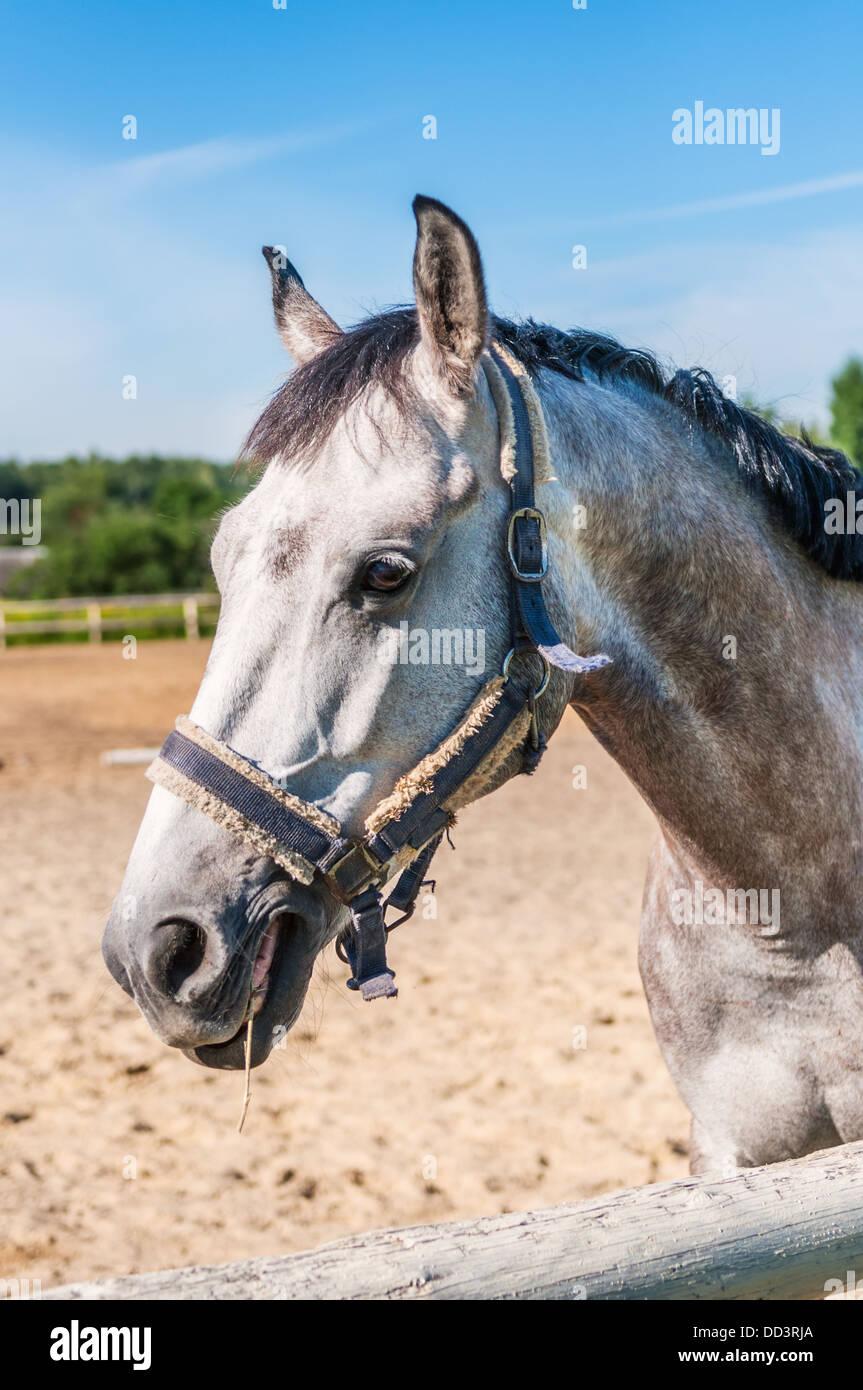 Dapple-grey horse chewing grassblade - Stock Image