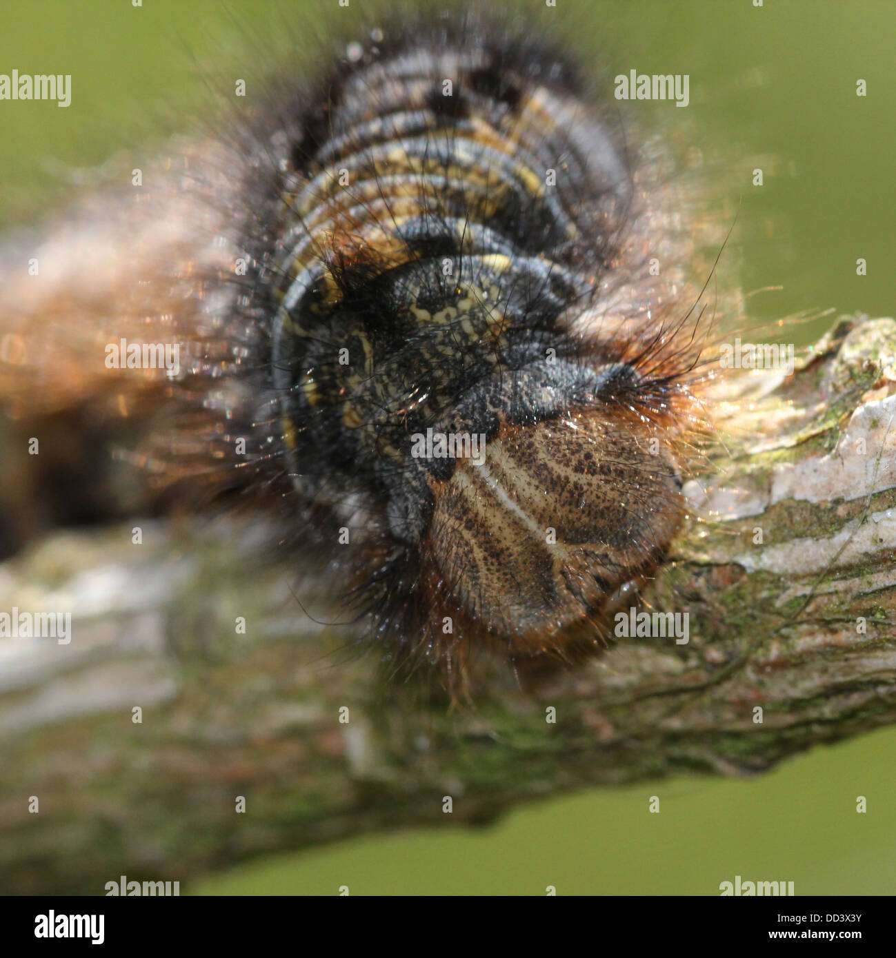 Series of 20 detailed close-ups of the Oak Eggar Moth (Lasiocampa quercus) in various poses - Stock Image