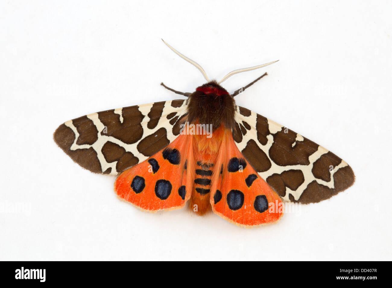 Garden Tiger Moth; Arctia caja; July; UK - Stock Image