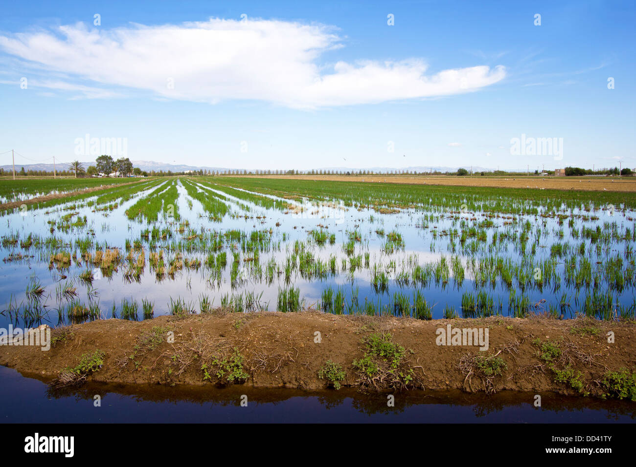 Fields with small water filled ditches and canals, with rice growing in Delta de l'Ebre, Tarragona, Catalonia (Spain) Stock Photo