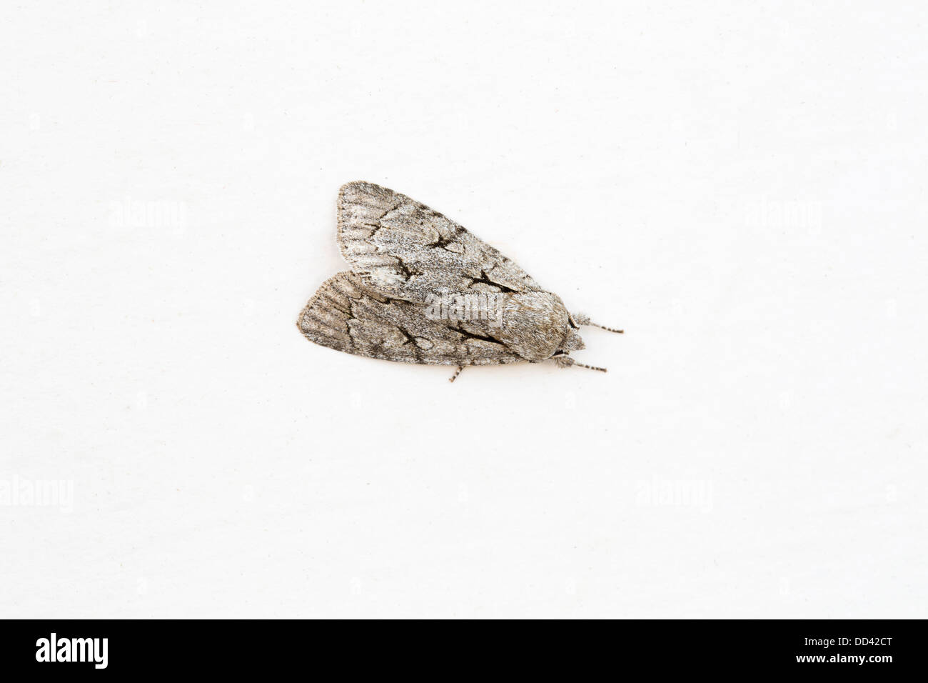 Grey Dagger Moth; Acronicta psi; female; Summer; UK - Stock Image