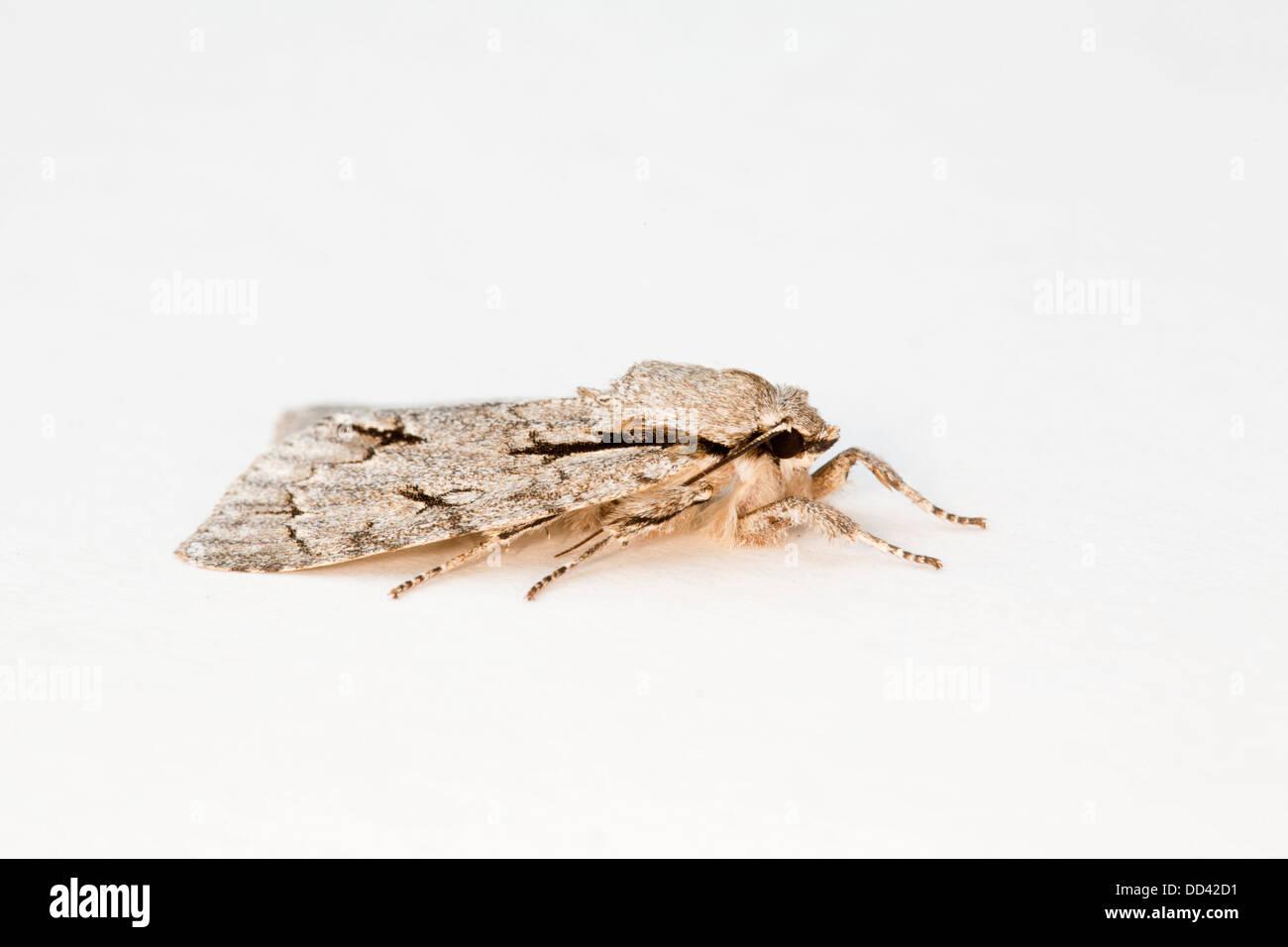 Grey Dagger Moth; Acronicta psi; female; Summer; UK - Stock Image