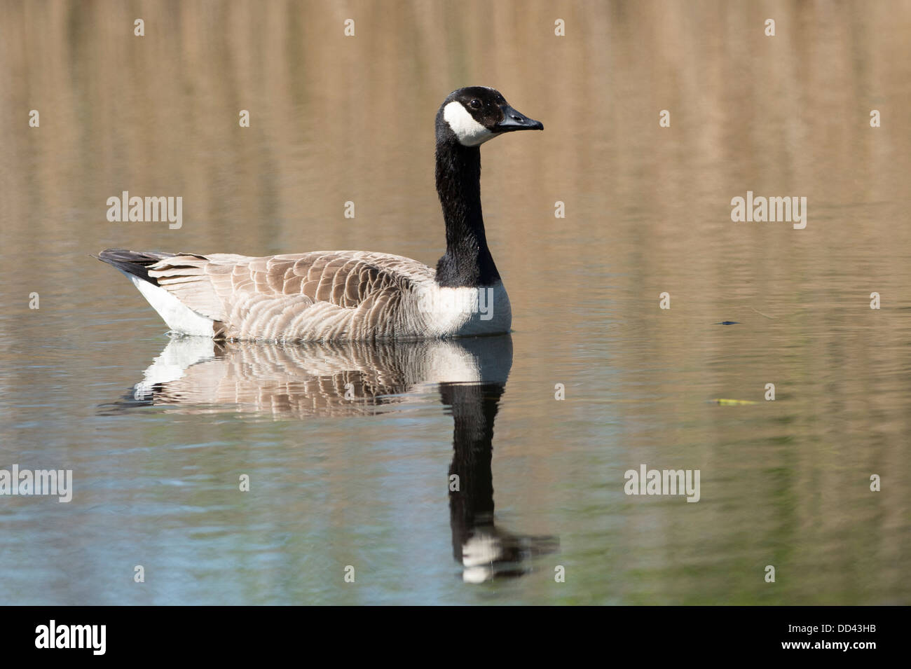 A Canada Goose swimming on a lake - Stock Image