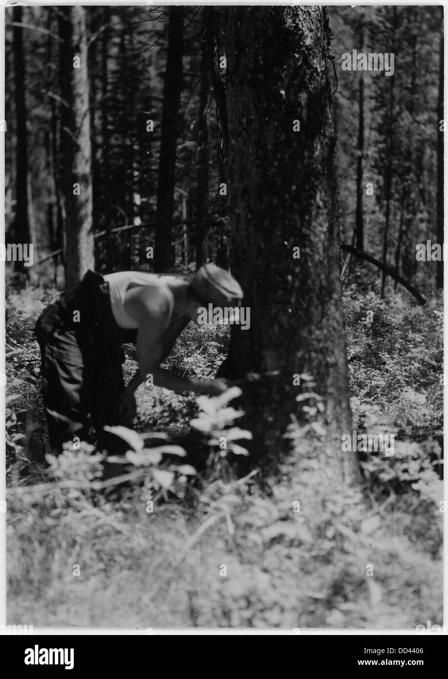 The man examining the tree is verifying indications of bark bettle attack - - 286074 - Stock Image