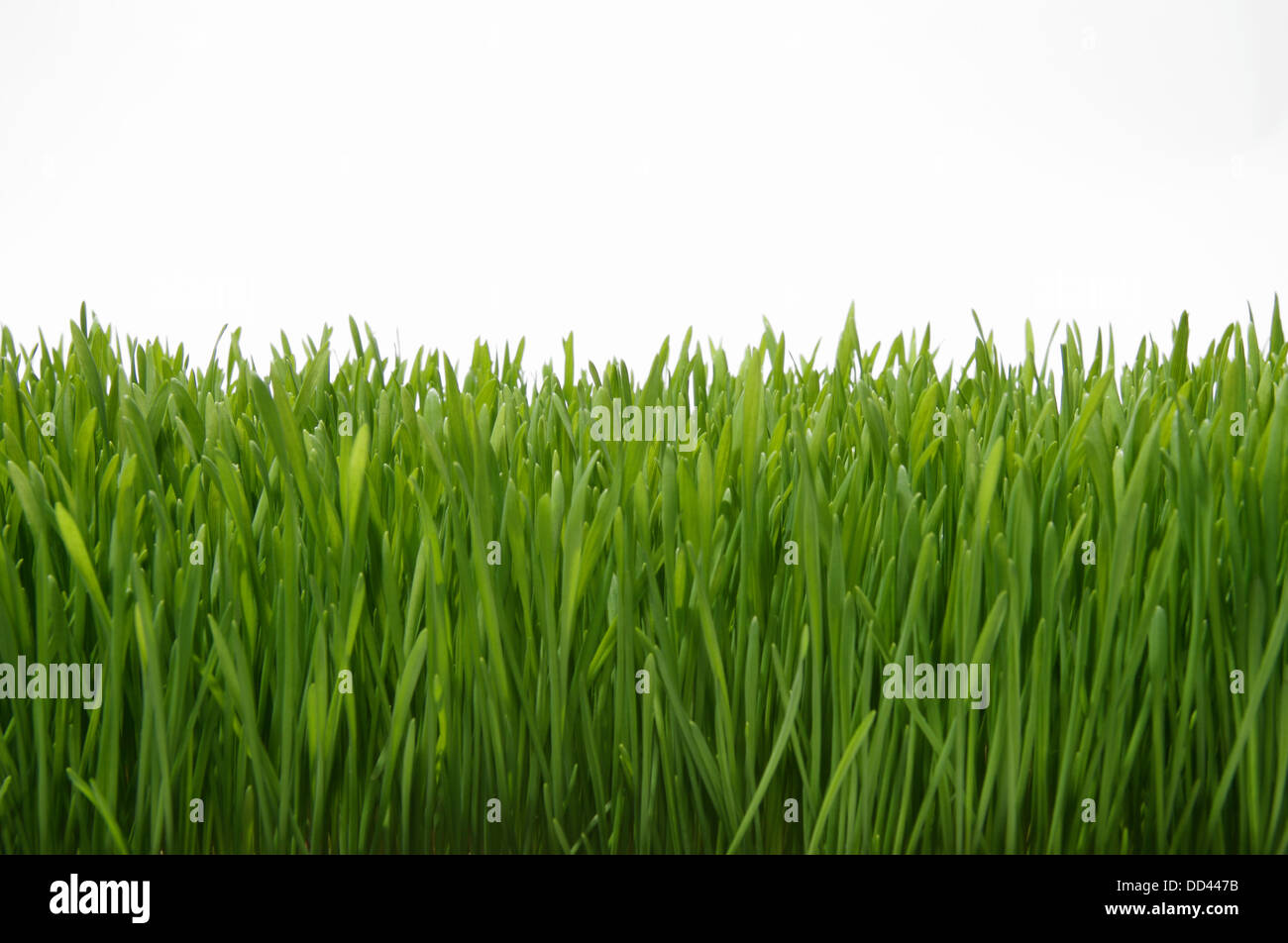 A section of growing green grass on a white background - Stock Image