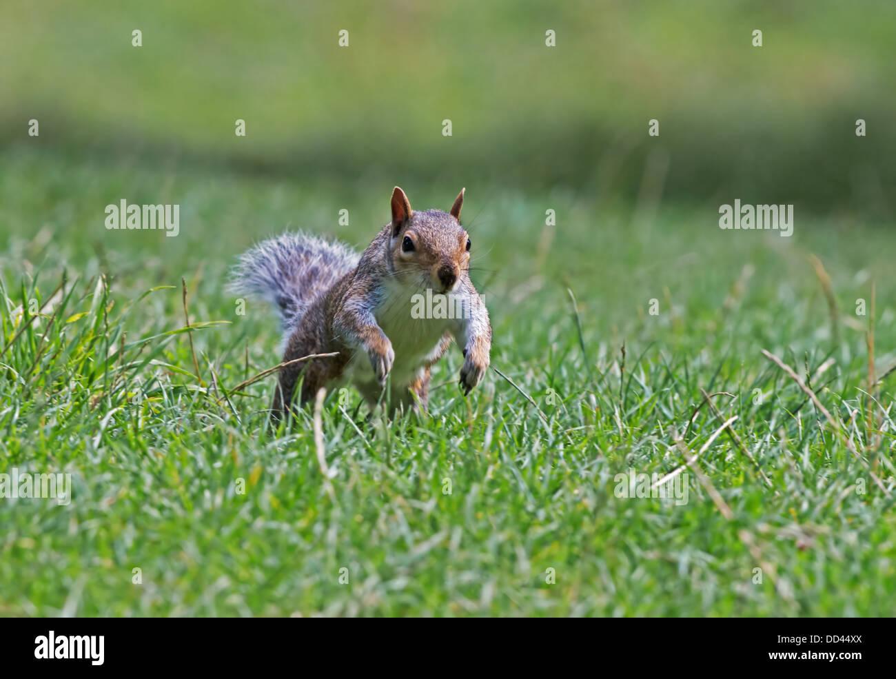 Grey Squirrel - Sciurus carolinensis running. Summer. Sussex. Uk - Stock Image