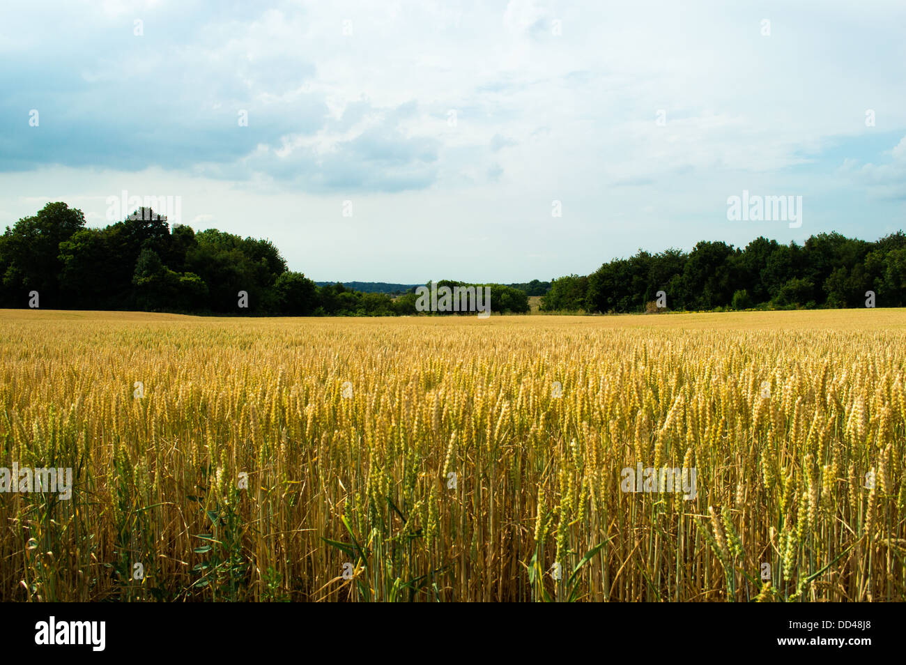 wheat field in the countryside outside London - Stock Image
