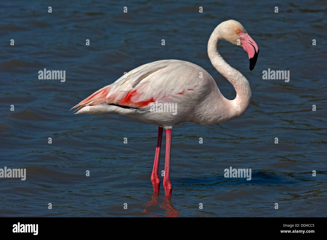 Greater Flamingo (Phoenicopterus roseus) foraging in a lake, Camargue, France - Stock Image