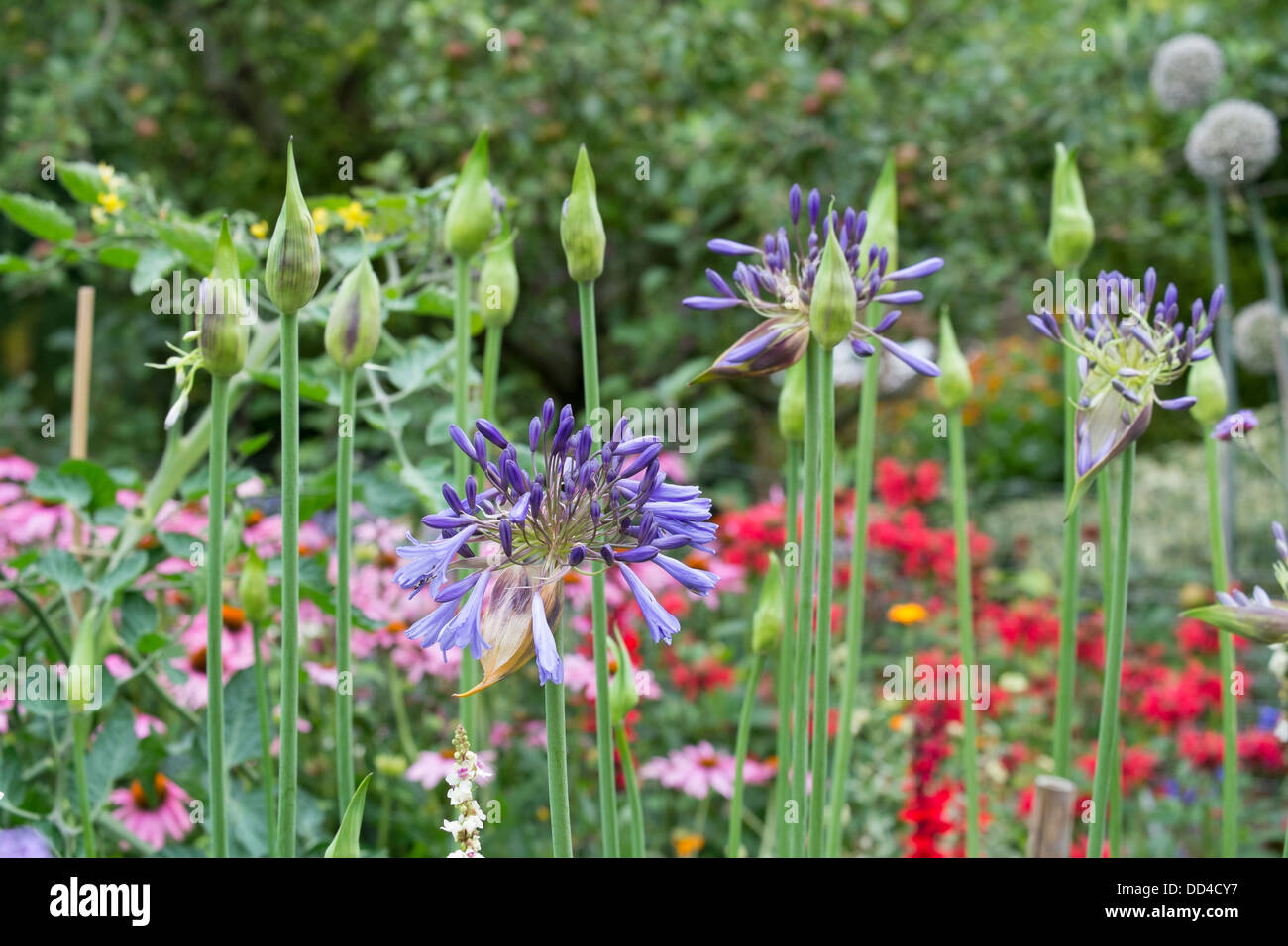 Agapanthus and ornamental alliums coming onto flower. - Stock Image
