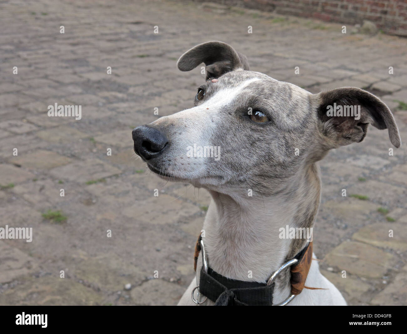 Grey pet dog, looking up, obediently - Stock Image