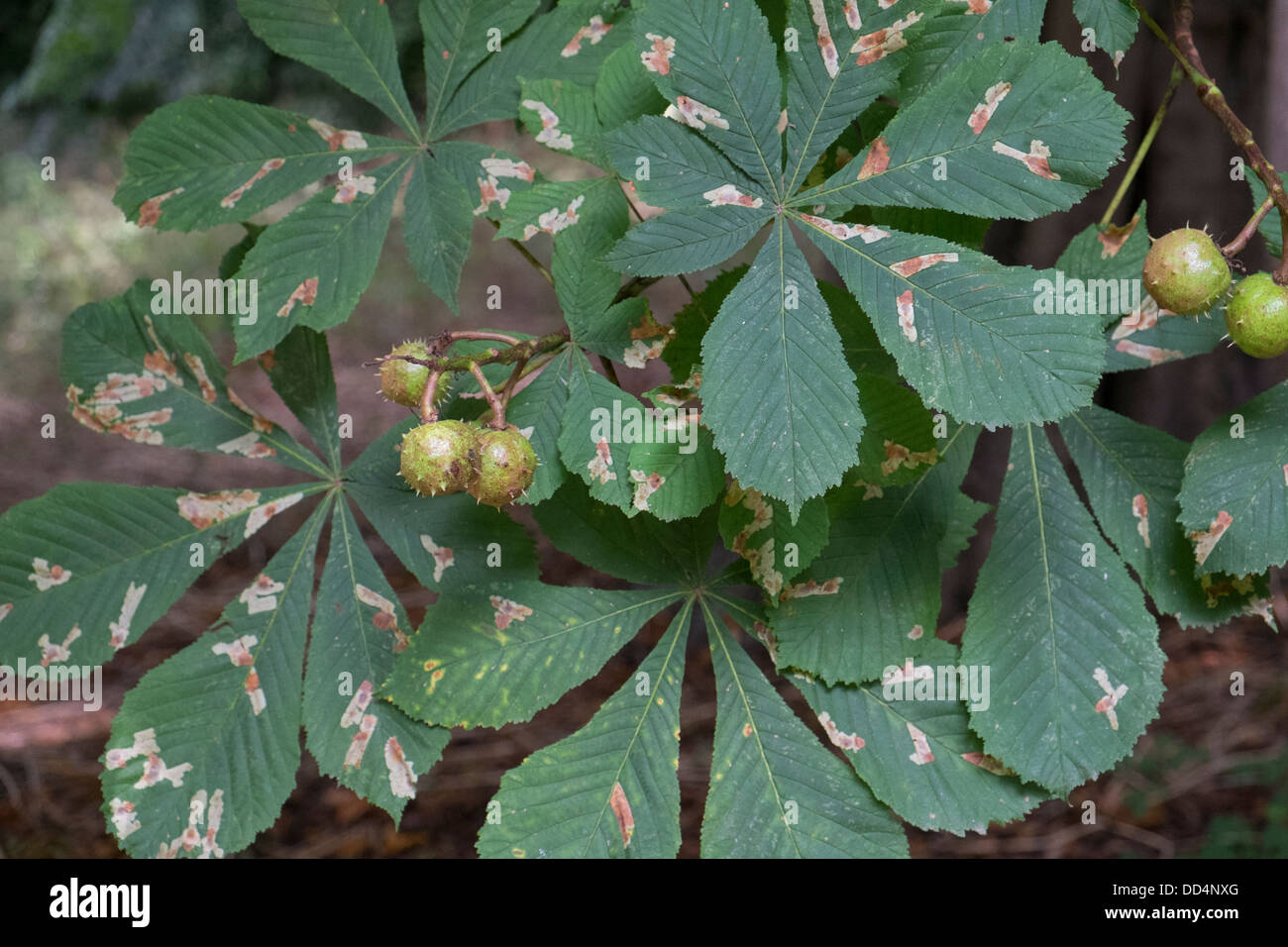 Horse Chestnut, Aesculus hippocastanum. Showing damage caused by the leaf mining moth, Cameraria ohridella. Stock Photo