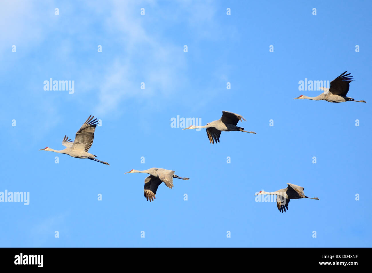 Sandhill Cranes (Grus canadensis) in Flight Stock Photo