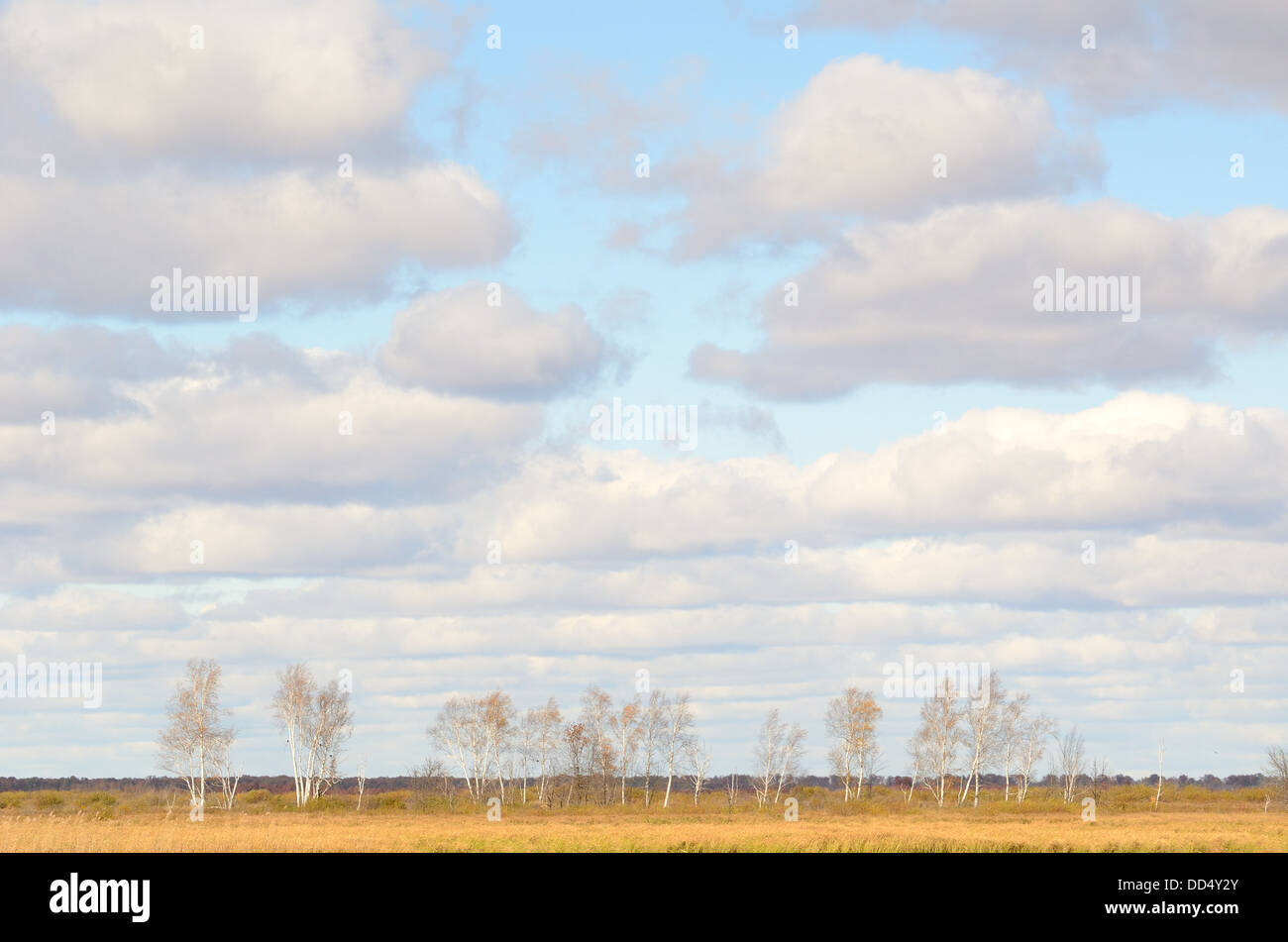 Birch Trees in the Fall with Cumulus Clouds in the Sky in Minnesota - Stock Image