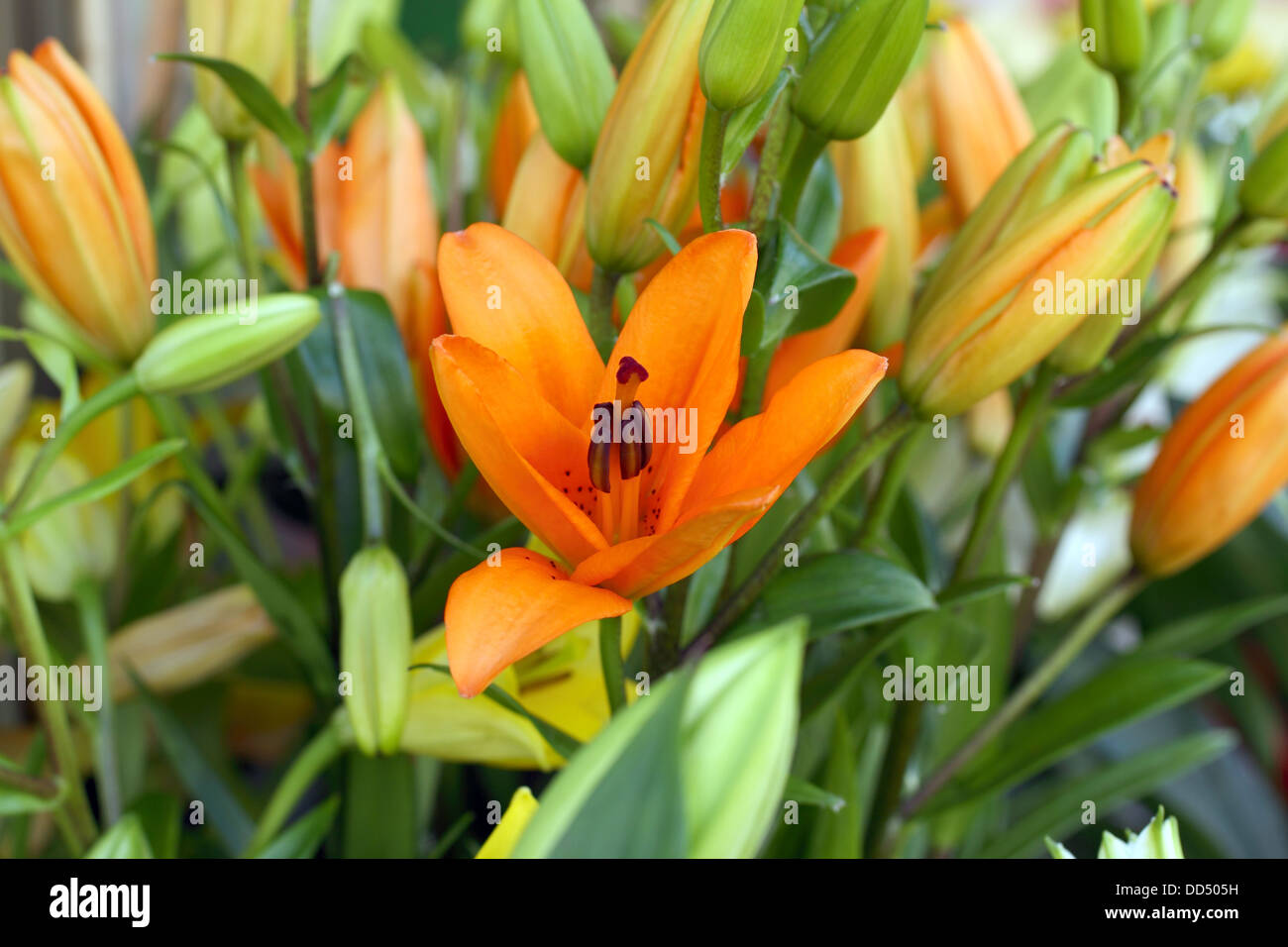 Orange lily flower buds stock photos orange lily flower buds stock flower of a lily fritillaria imperialis close upwith the buds in the background izmirmasajfo
