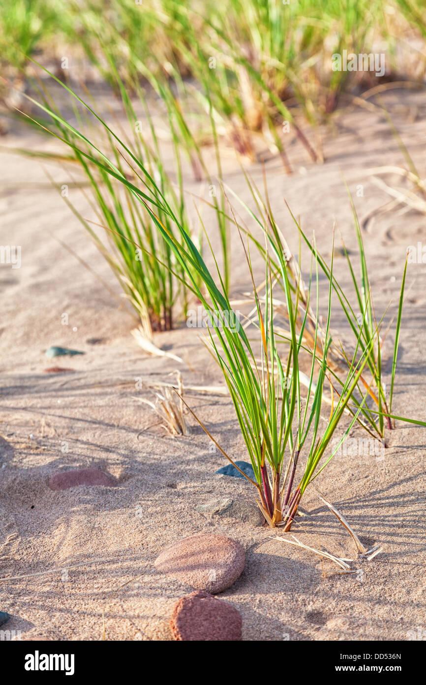 Wild maram grass growing on a Prince Edward Island beach. - Stock Image