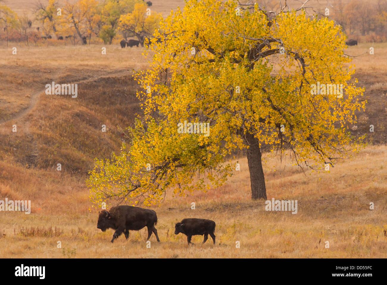 USA, South Dakota, Custer State Park. Bison mother and calf. - Stock Image