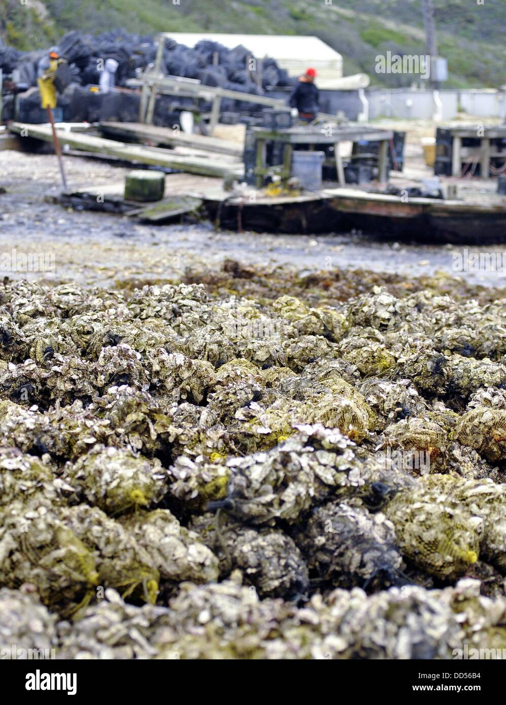 May 23, 2013 - Inverness, California, USA - Bags of shells are seen at Drakes Bay Oyster Farm on May 09, 2013 in - Stock Image