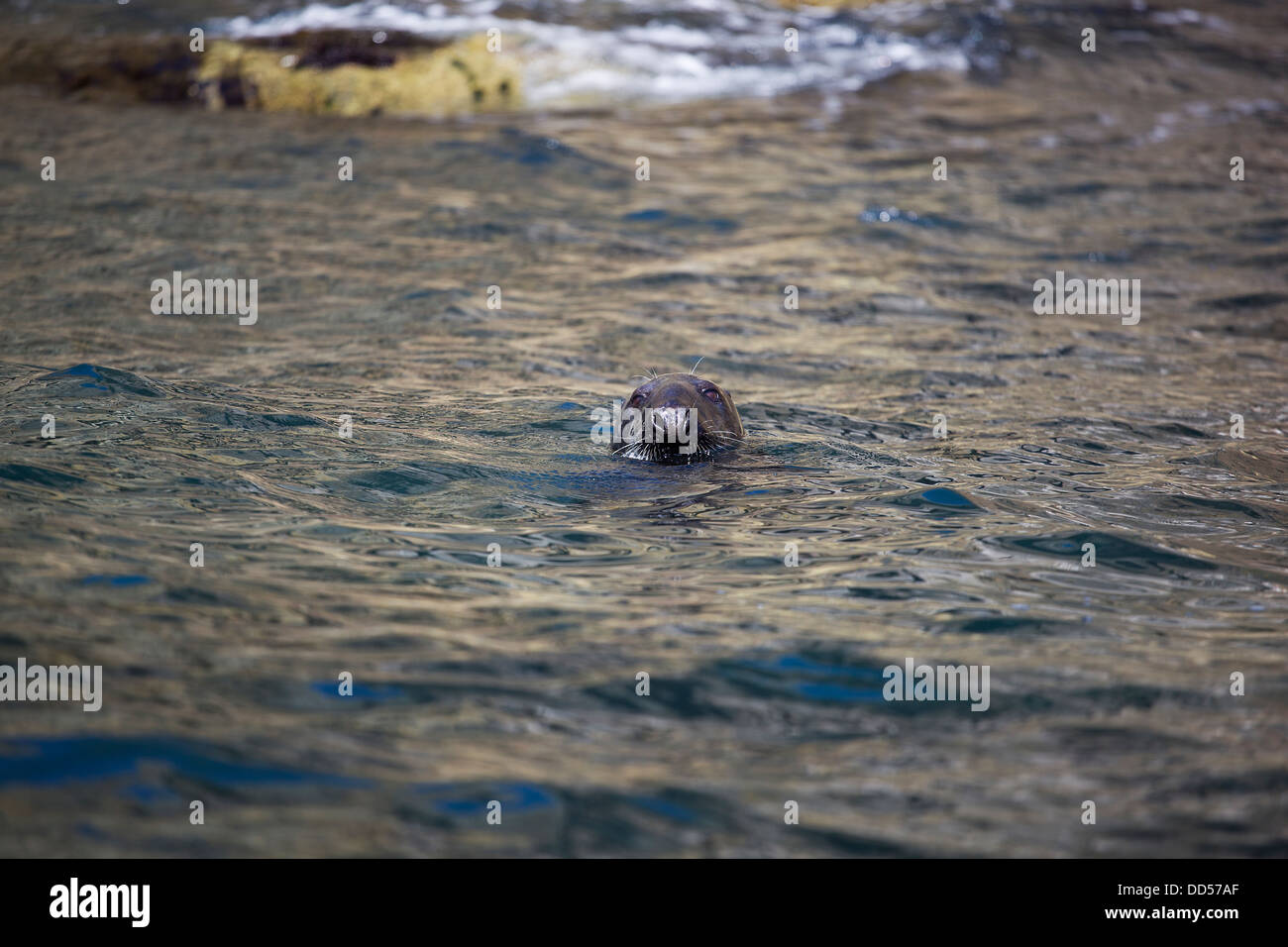 Grey Seals in Pembrokeshire, Wales, UK - Stock Image