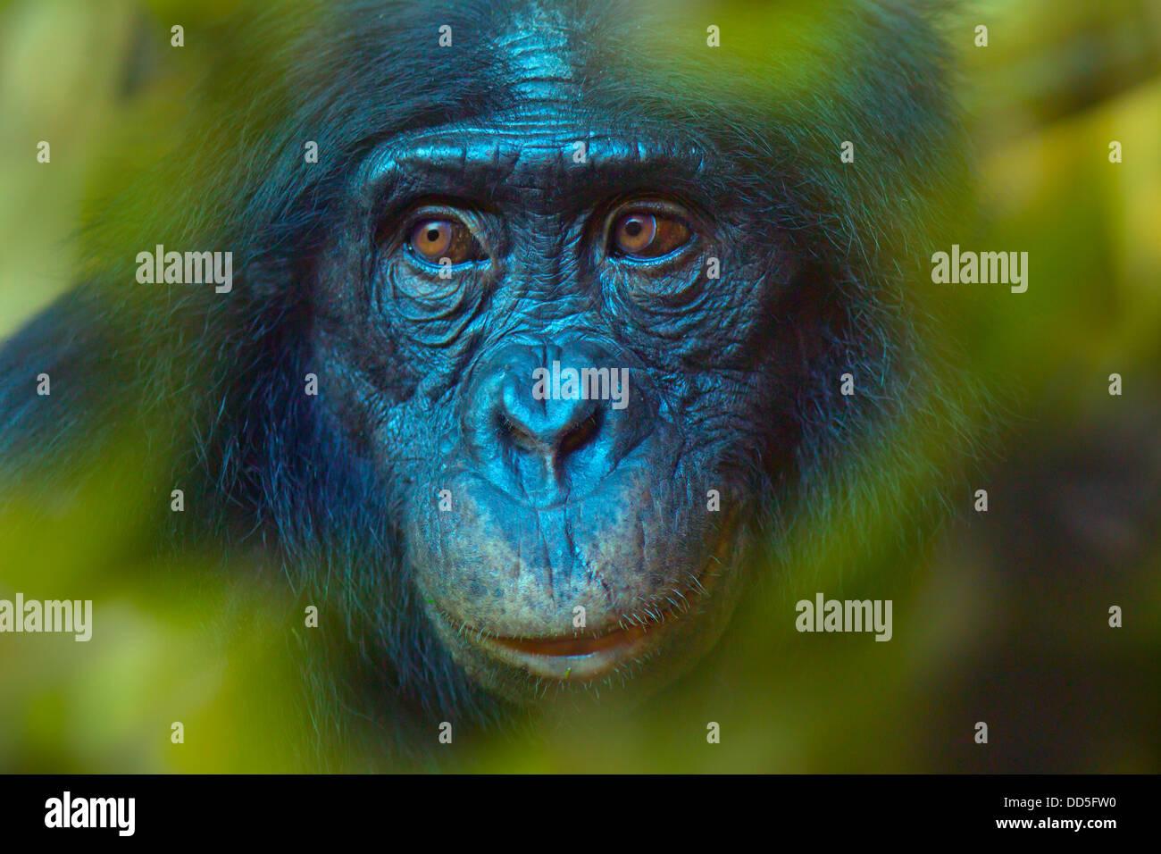 Bonobo or Dwarf Chimpanzee Pan paniscus - Stock Image