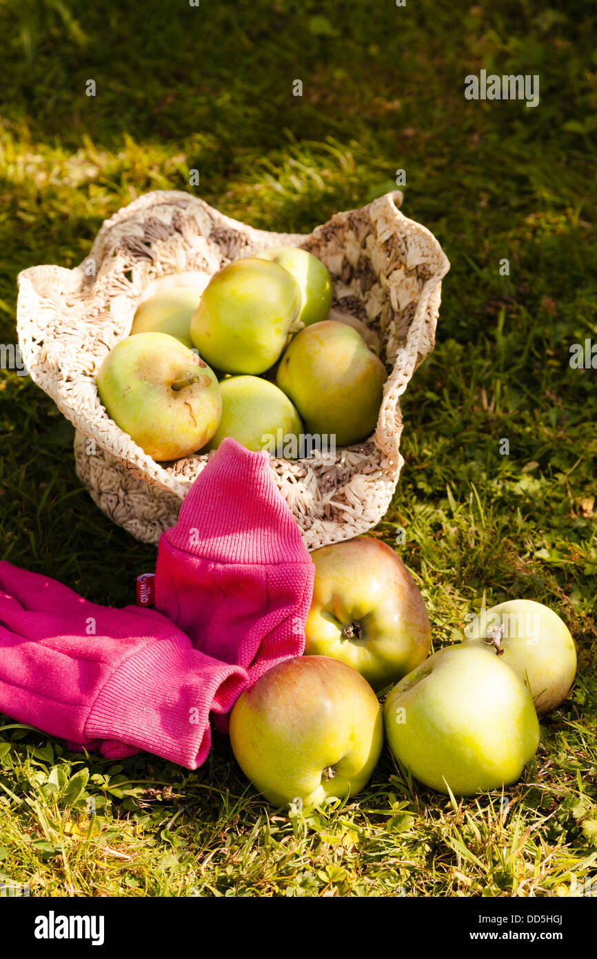 harvested grenadier apples collected in a raffia hat with gardening glove - Stock Image
