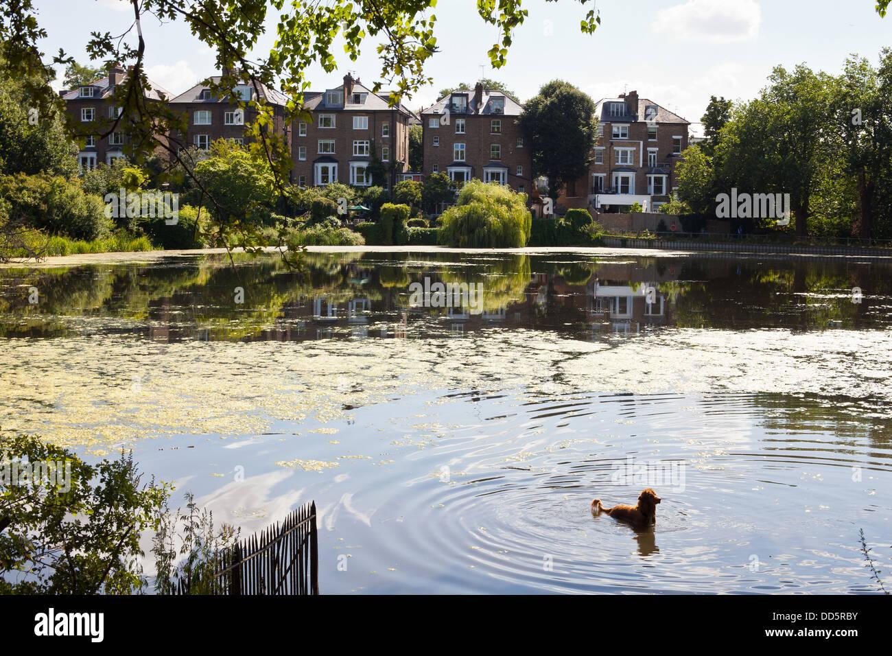 Dog in Hampstead Heath pond - Stock Image