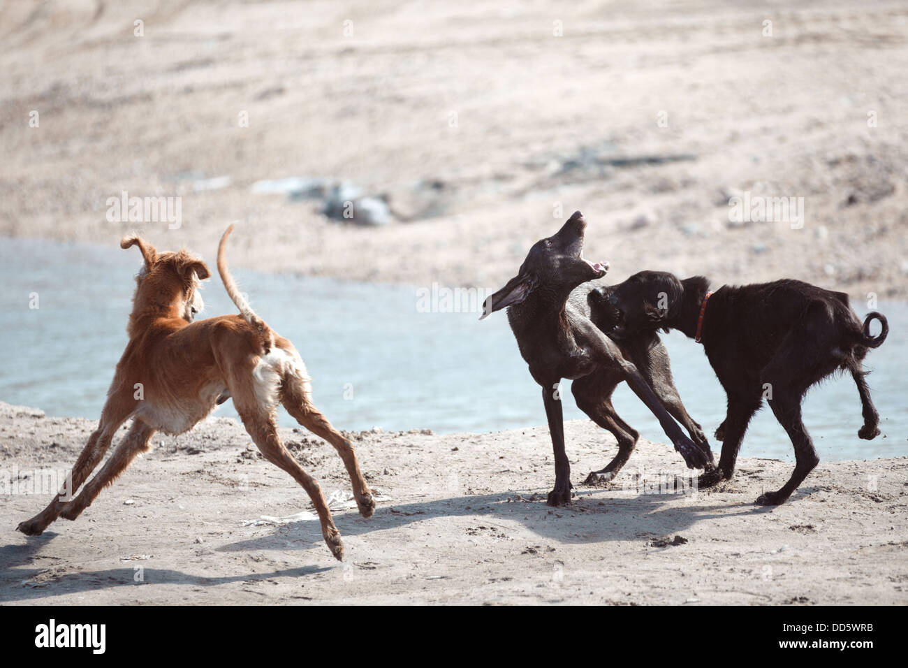 Three dogs fighting outdoors - Stock Image