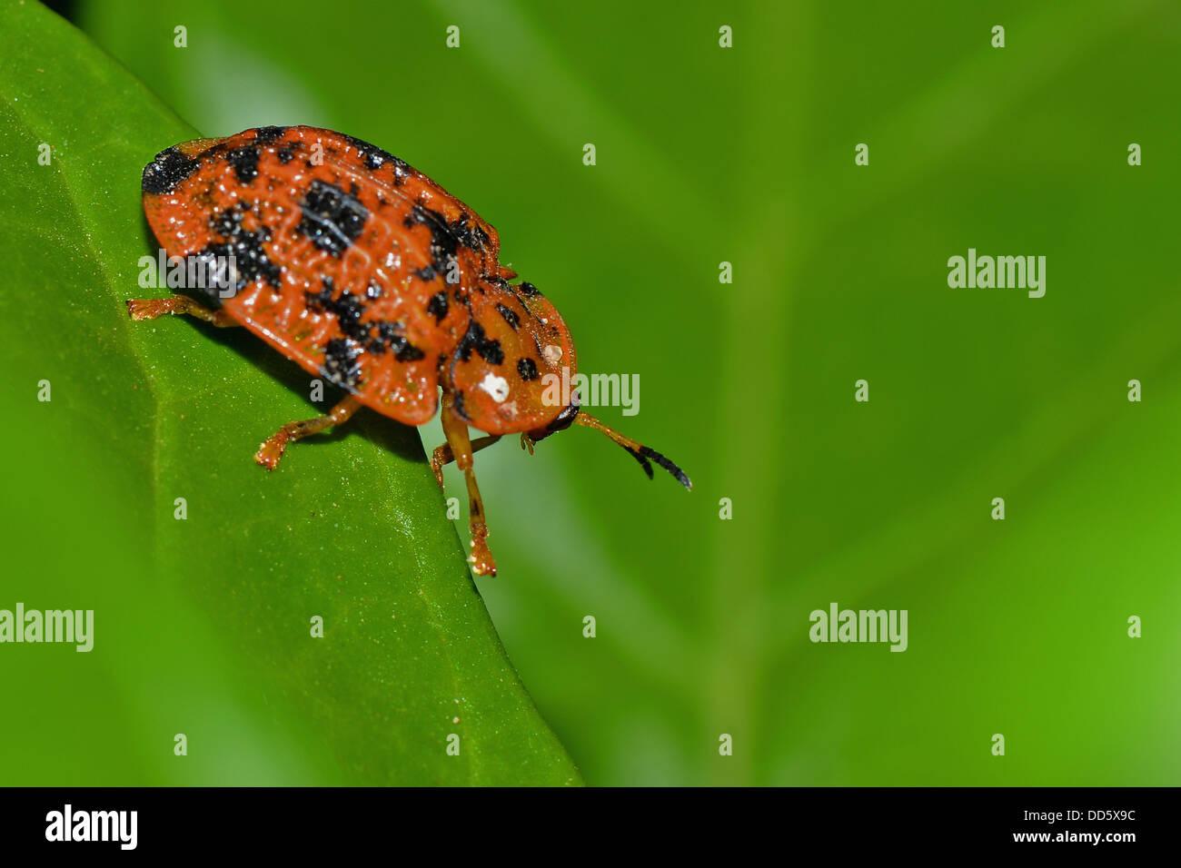 A beetle on a leaf. - Stock Image