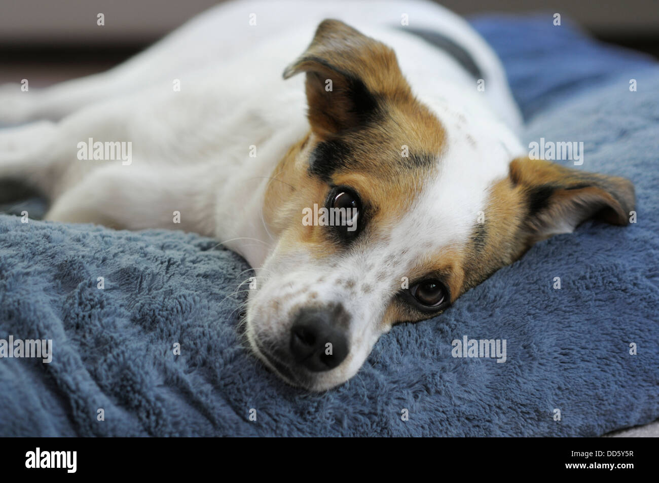 Cute mixed breed dog relaxing on his bed - Stock Image