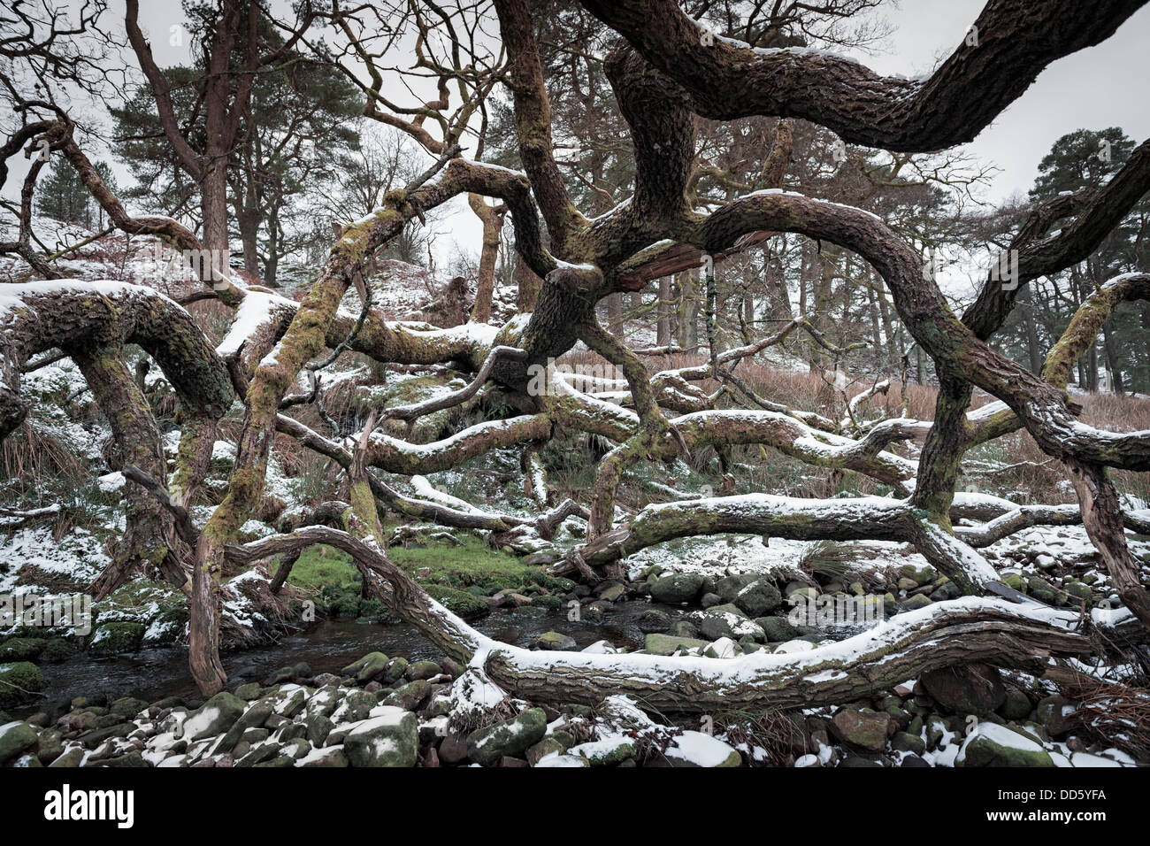 Against all the odds, a fallen tree continues to grow in a horizontal direction resulting in a scary looking tangle - Stock Image