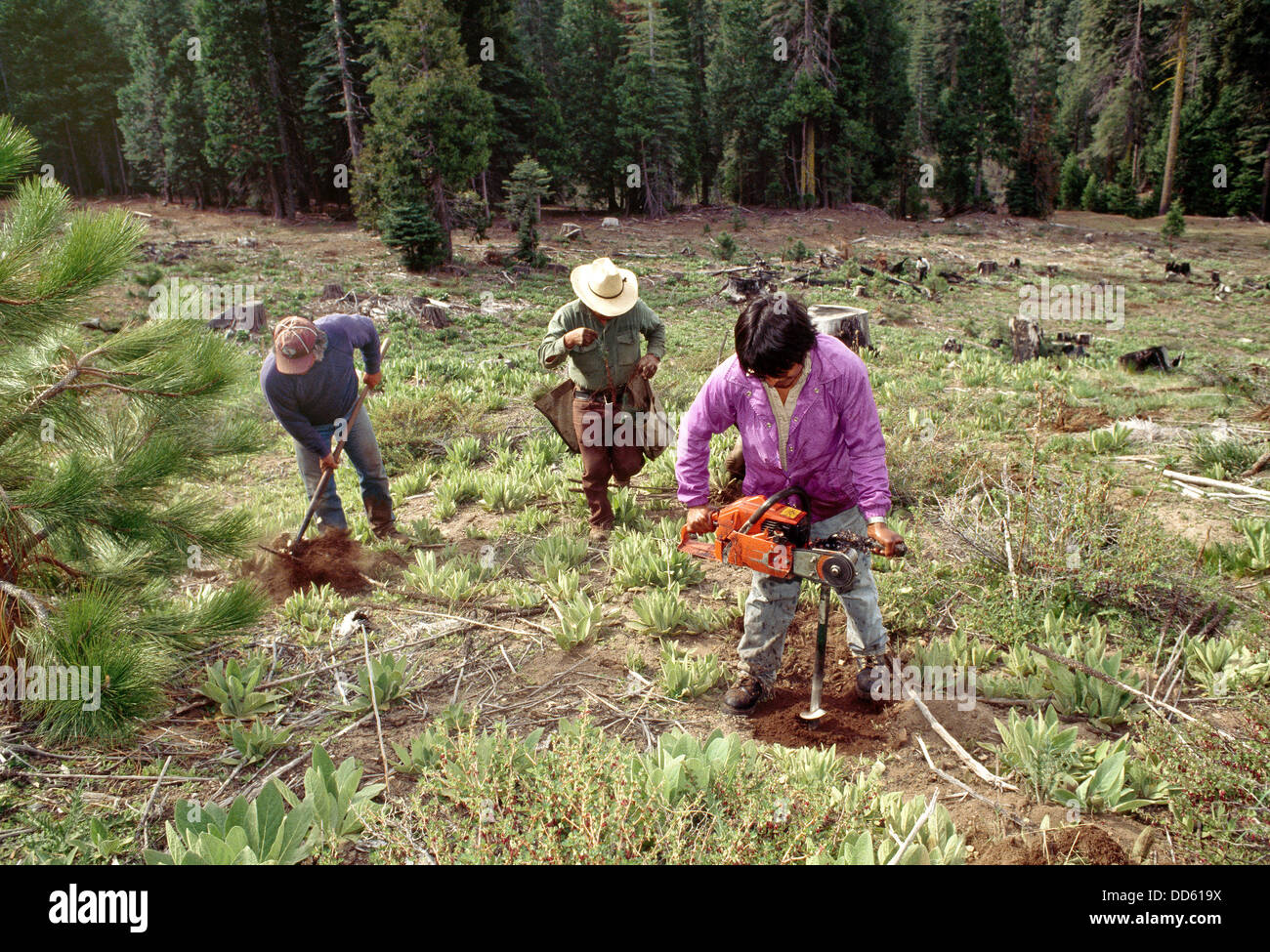Reforestation, workers planting Ponderosa Pine seedlings. - Stock Image