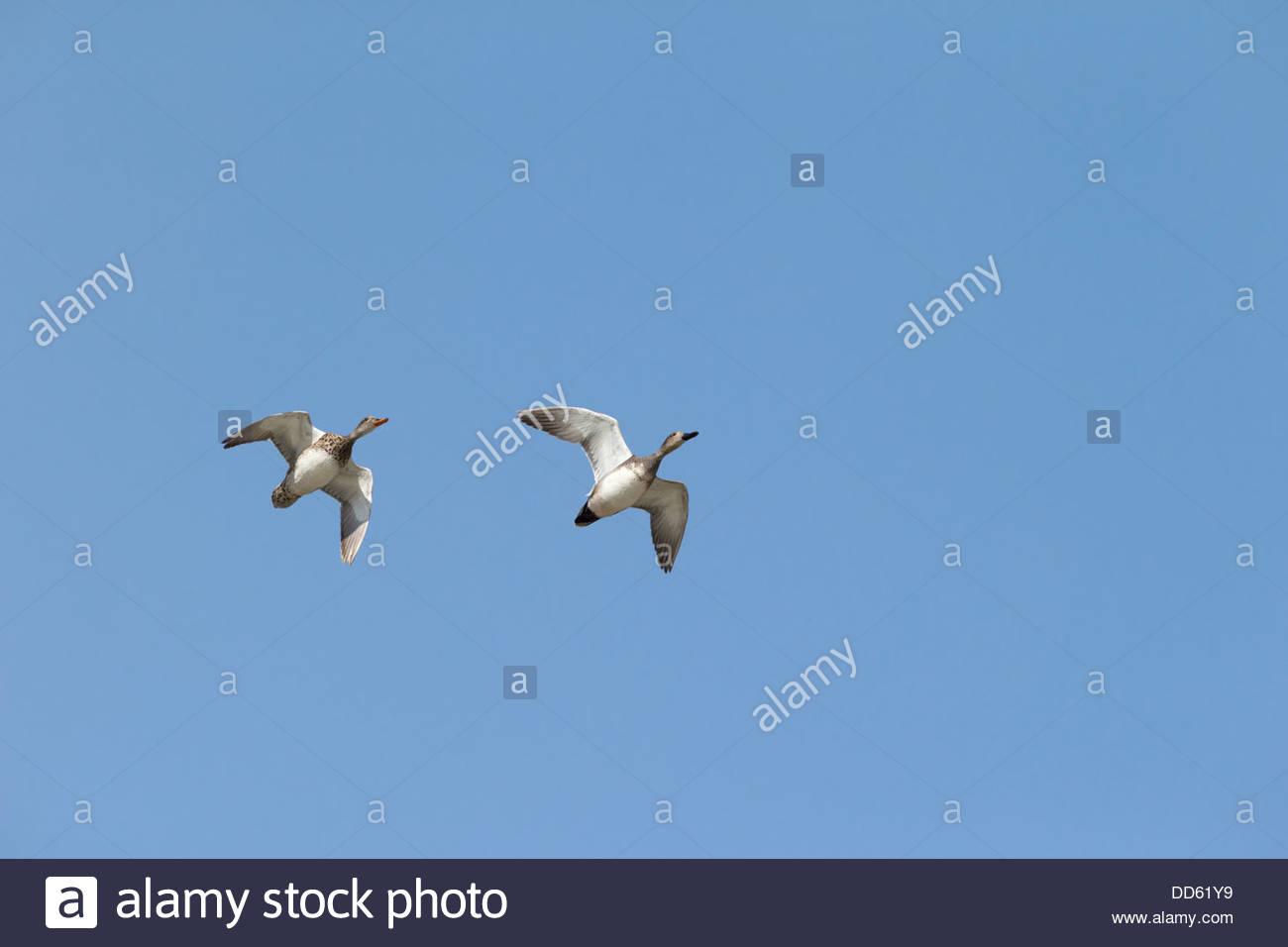 Gadwall Duck; Anas strepera - Stock Image